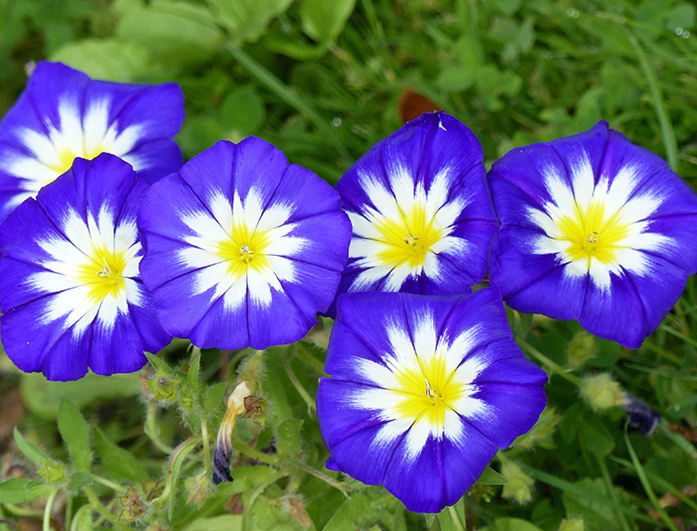 Morning Glory, also known as Ipomoea