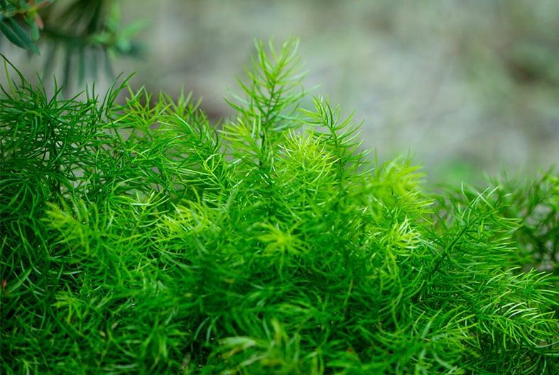 Leaves of Sprenger's Asparagus