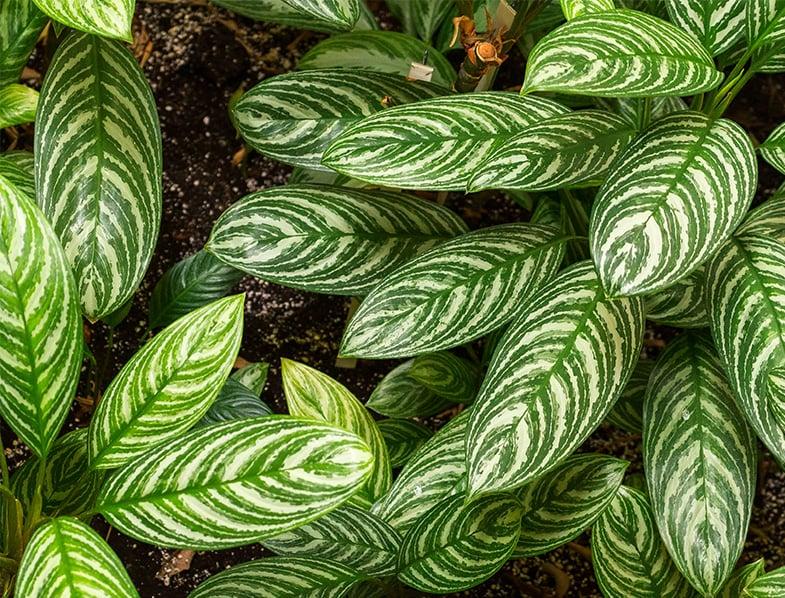 Leaves of the Aglaonema