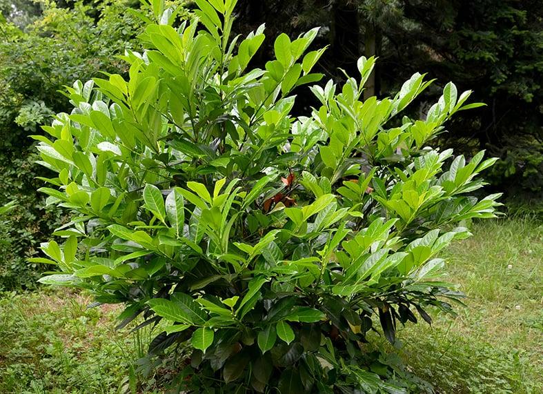 Prunus Laurocerasus are fast growing