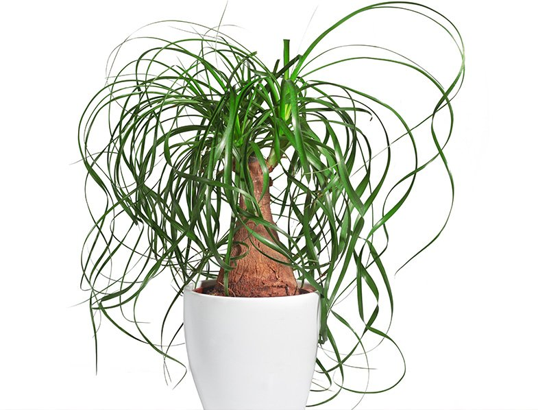 Potted Ponytail Palm