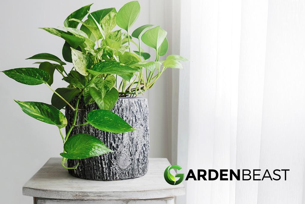 A Large Pothos //Devil/'s Ivy Golden Pothos Epipremnum aureum Rooted Cutting