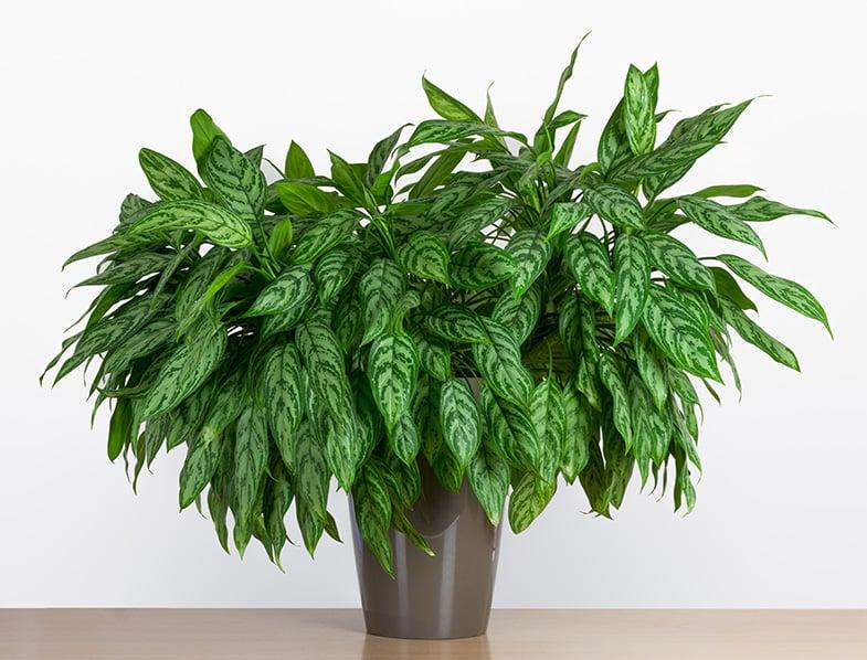 Chinese Evergreens make stunning house plants