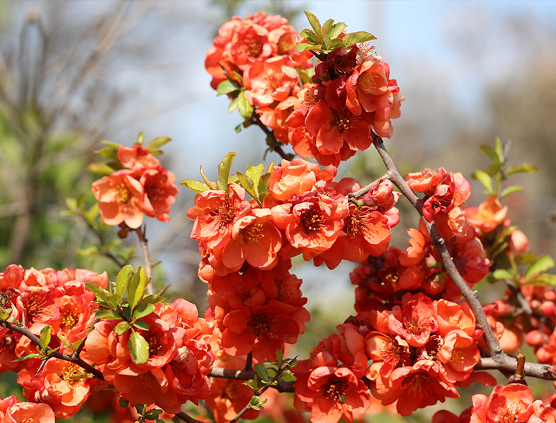 Chaenomeles, commonly referred to as Flowering Quince, Japanese Quince, or Japonica