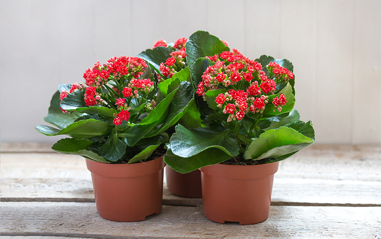 Red Kalanchoes growing in pots