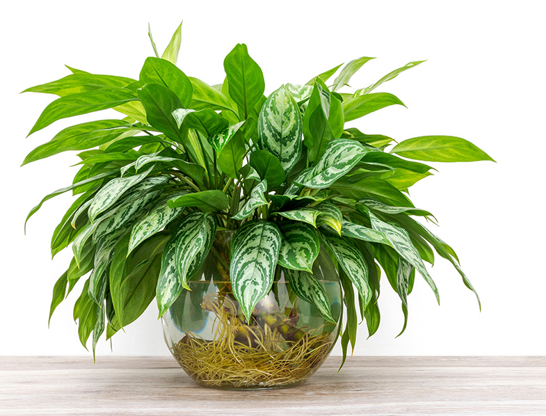 Aglaonema, rooting and growing