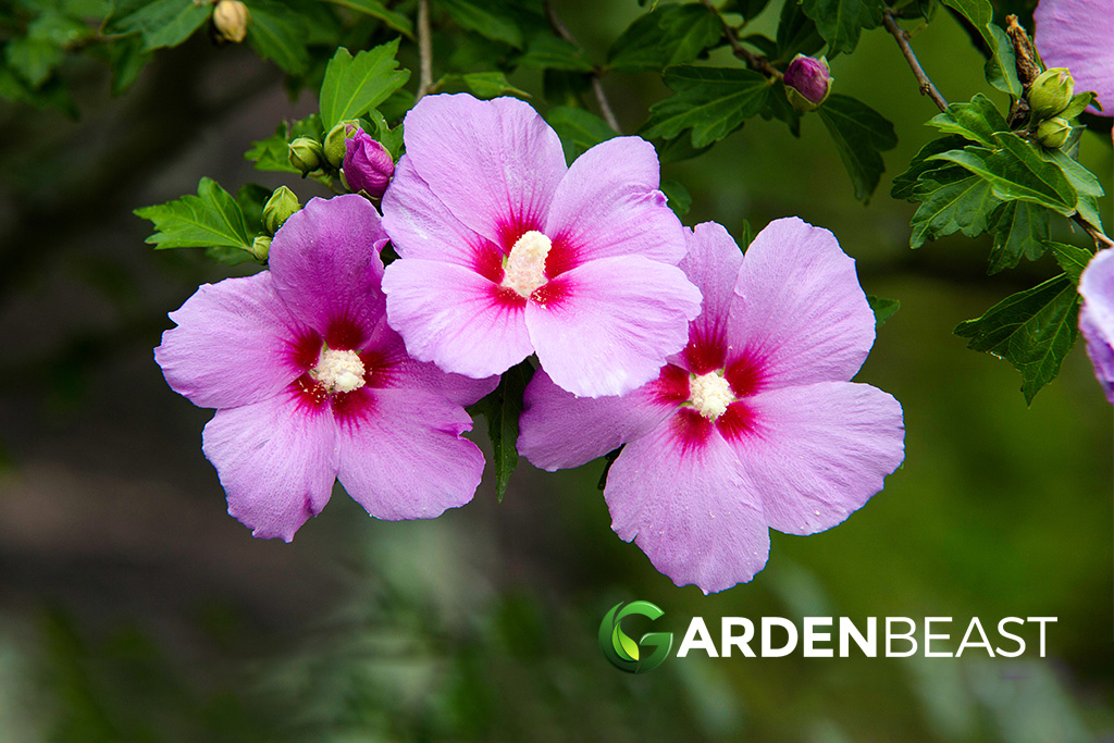 Guide To Rose Of Sharon How To Grow Care For Hibiscus Syriacus