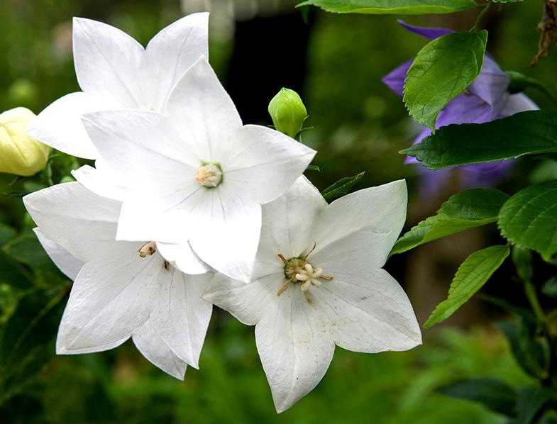 White Balloon Flowers