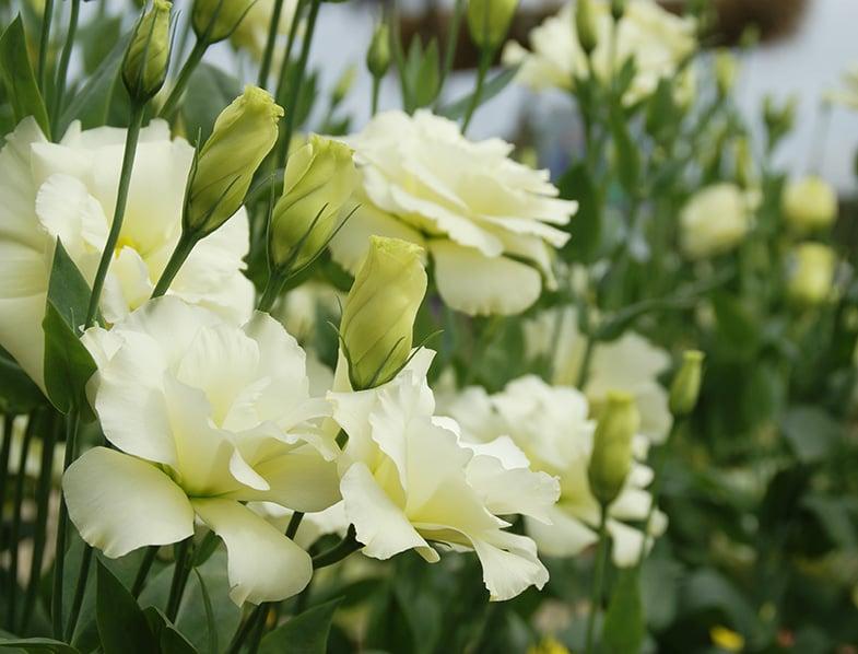 Blooming White Eustoma