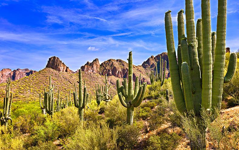 Saguaro Cactii in the Wild
