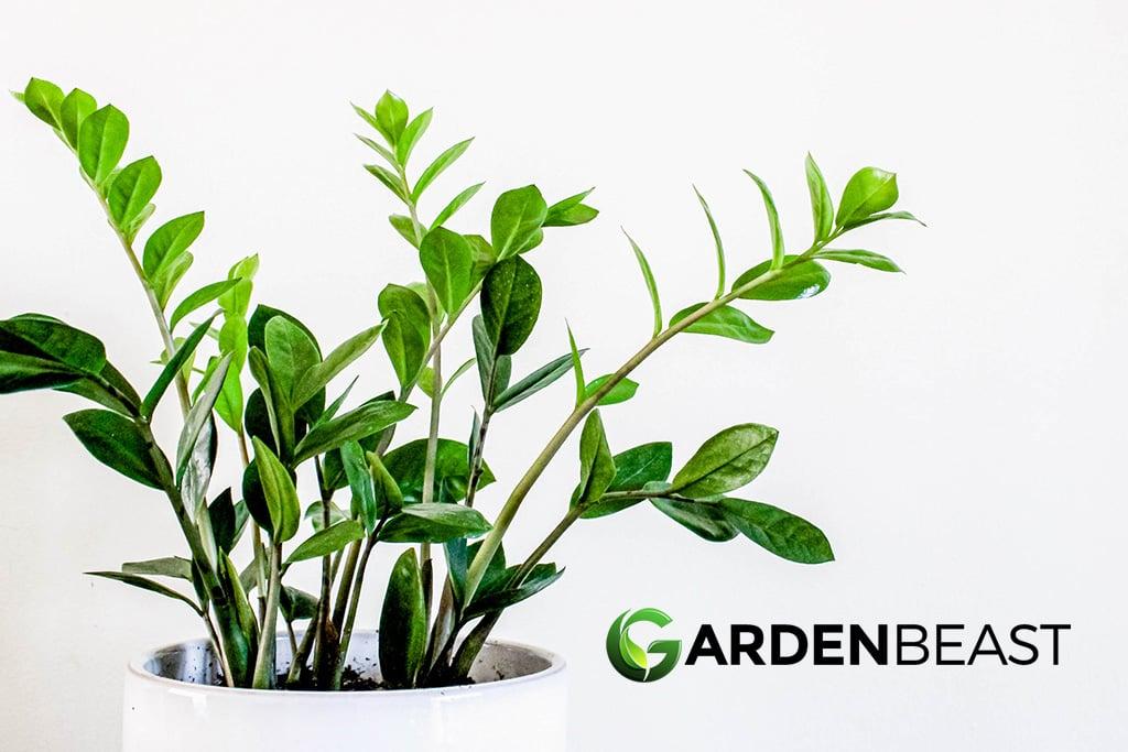 Guide To Zz Plants How To Grow Care For Zamioculcas Zamiifolia