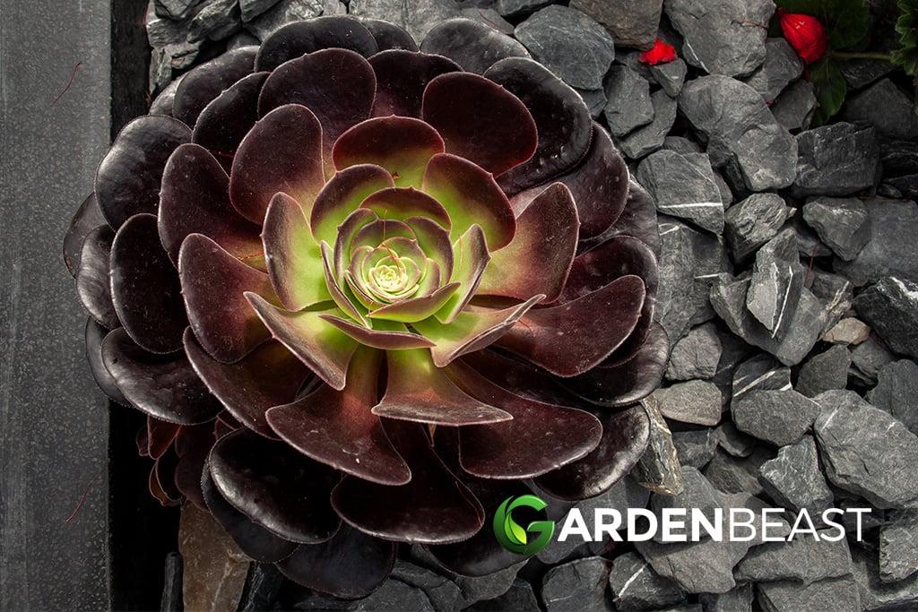 Aeonium Arboreum Guide How To Grow Care For Tree Houseleek