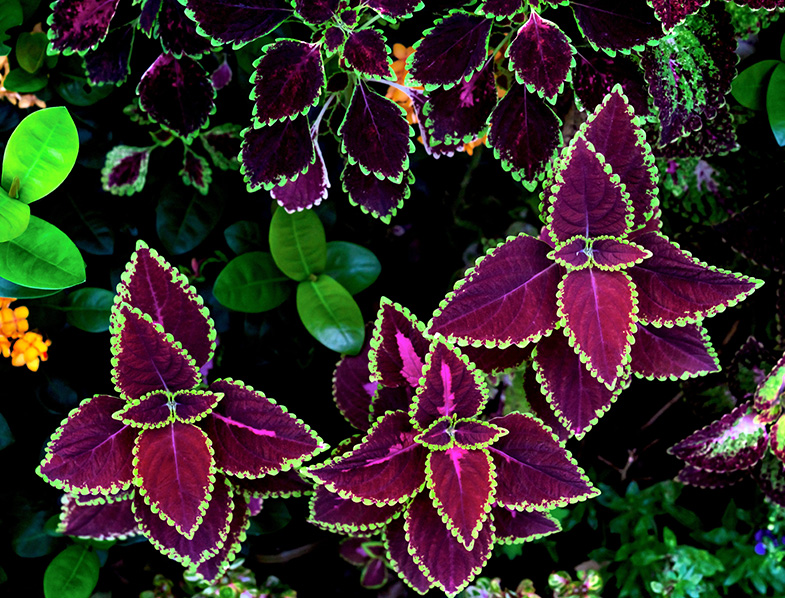 Colorful Coleus Plant