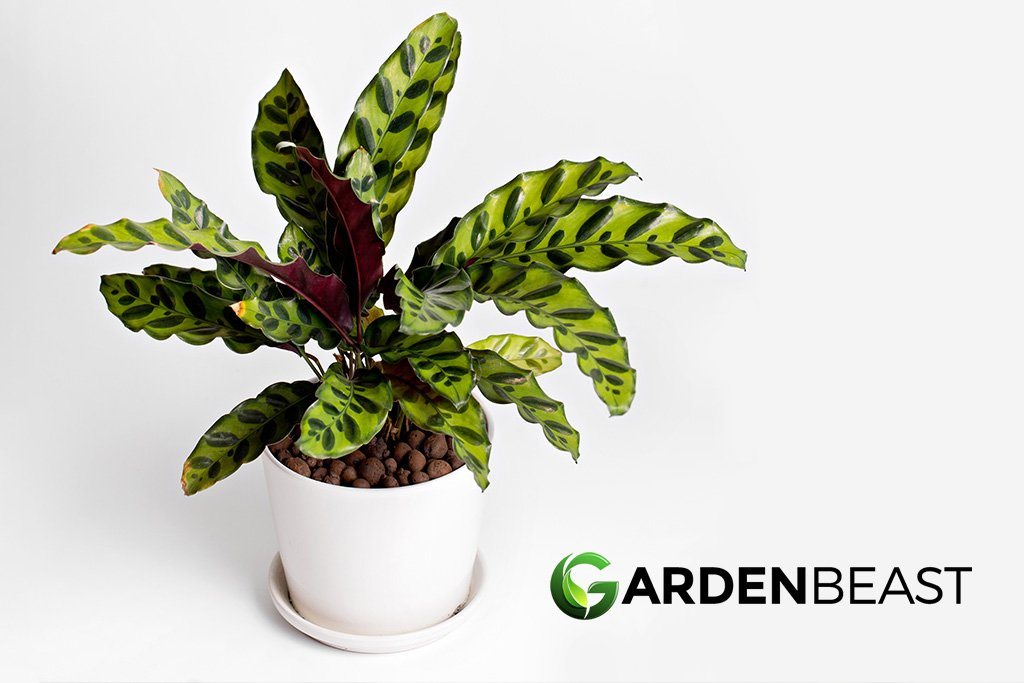 Rattlesnake Plant Guide How To Grow Care For Calathea Lancifolia