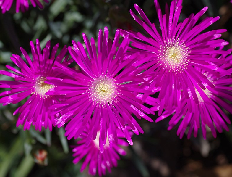 Purple Ice Plant