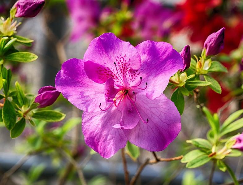 Flower on the Azalea bush