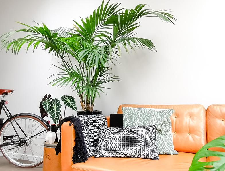 Kentia Palms make great indoor statement plants