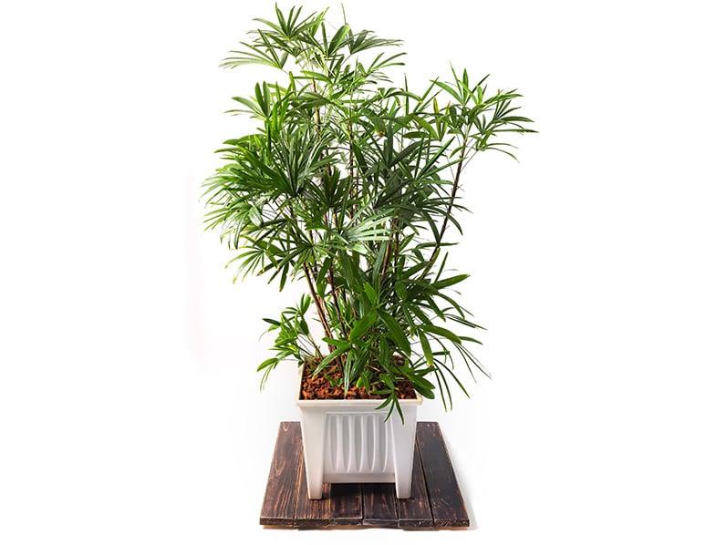 Lady Palm