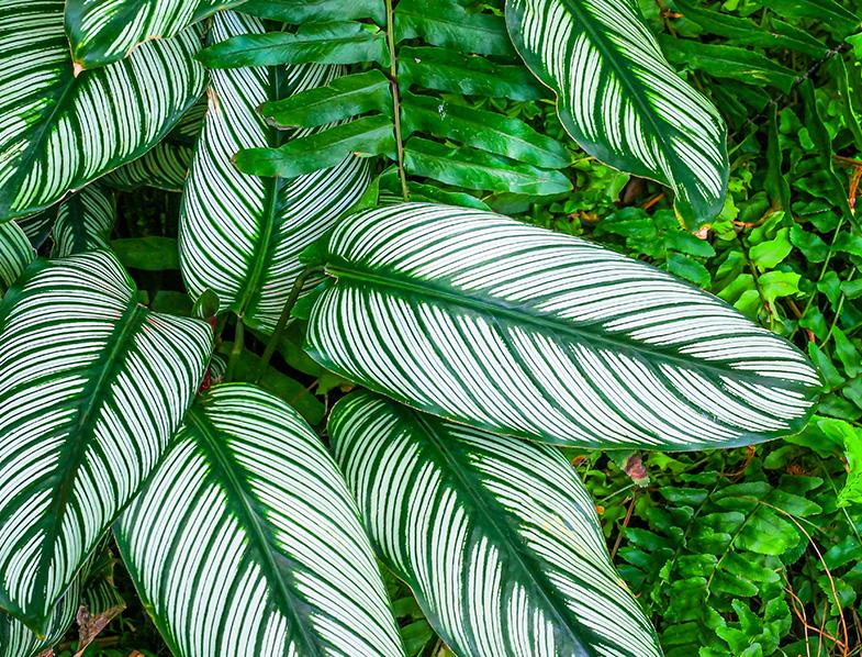 Stunning leaves Calathea Ornata