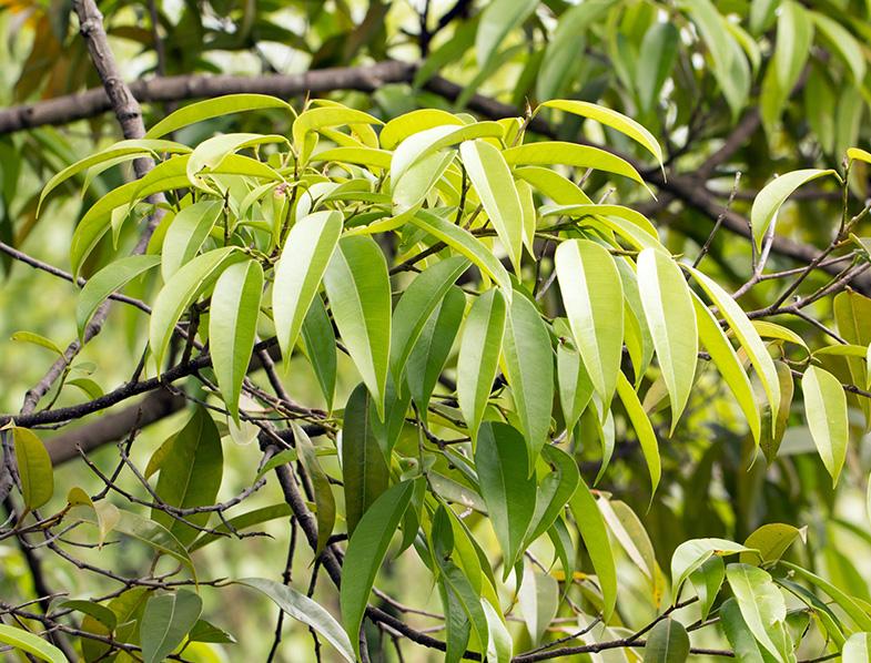 Ficus Alii leaves