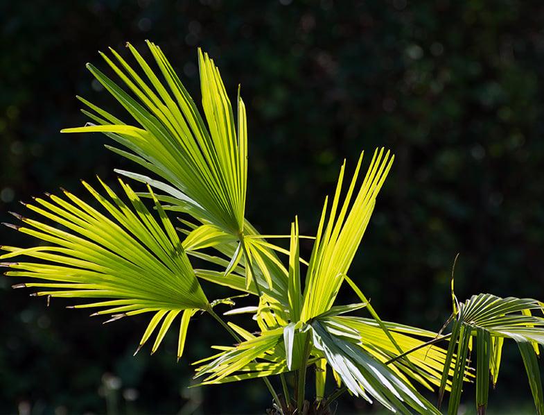 Chamaerops humilis leaves