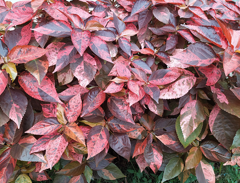 Common names include copperleaf and Jacob's coat, red leafed shrub