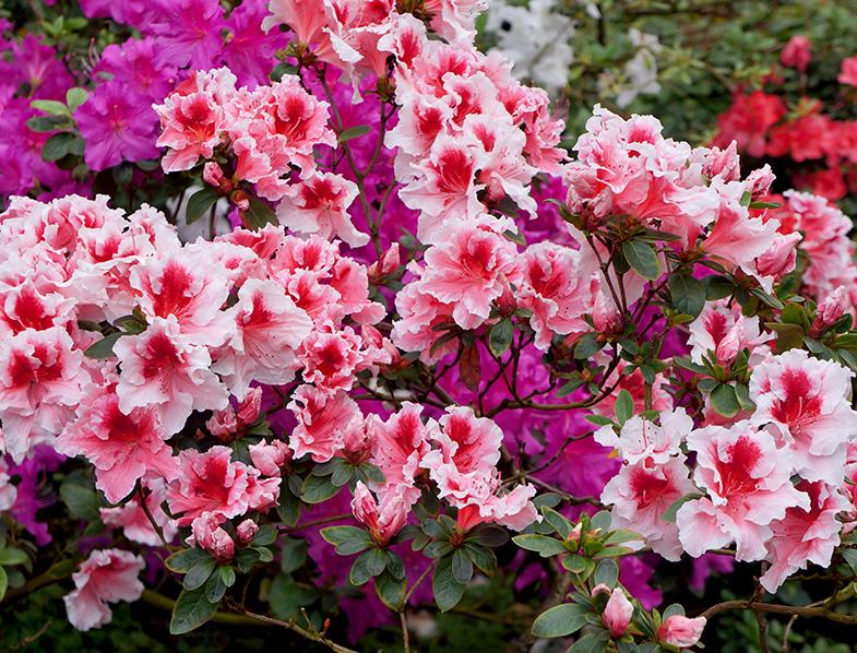 Big white-pink azalea bush
