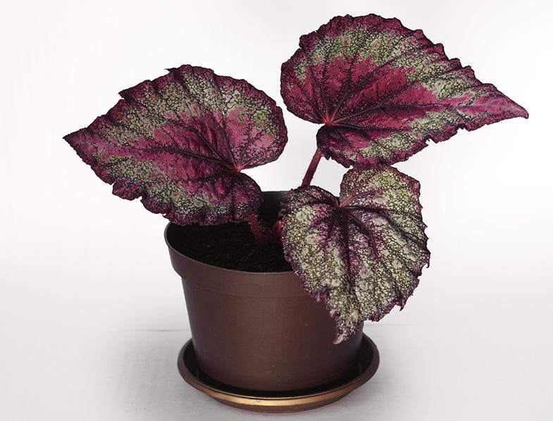 Begonia rex-cultorum