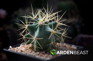 Blue Barrel Cactus
