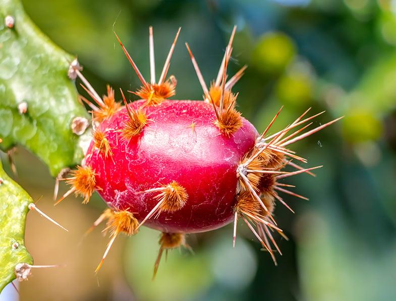 Brasiliopuntia Brasiliensis fruit