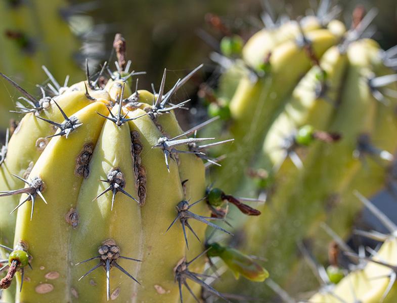 Cochal cactus