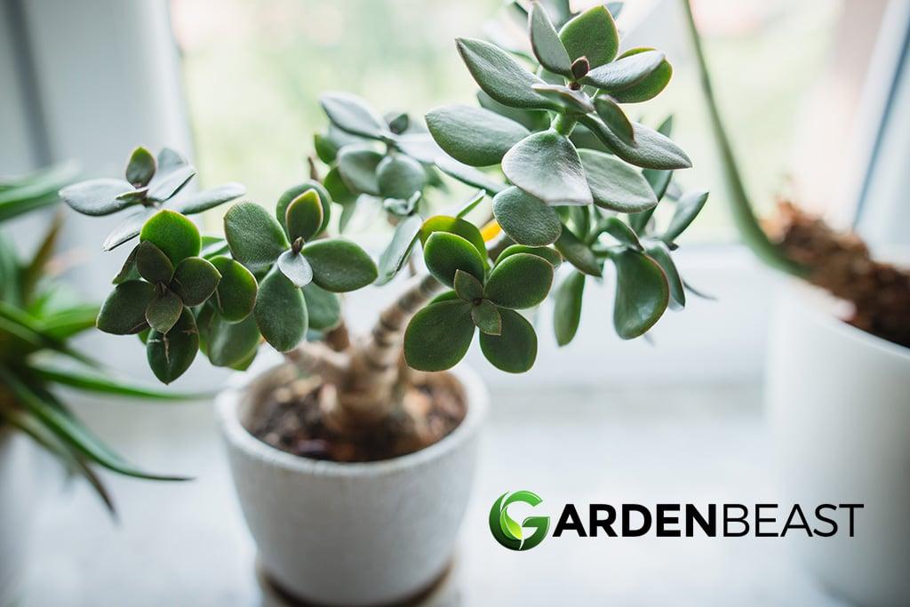 Crassula Ovata Guide How To Grow Care For The Jade Plant