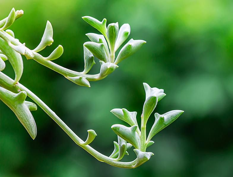 Curio × Peregrinus