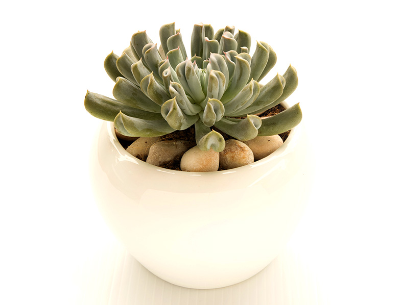 Echeveria Runyonii also known as Topsy Turvy or Blue Prince