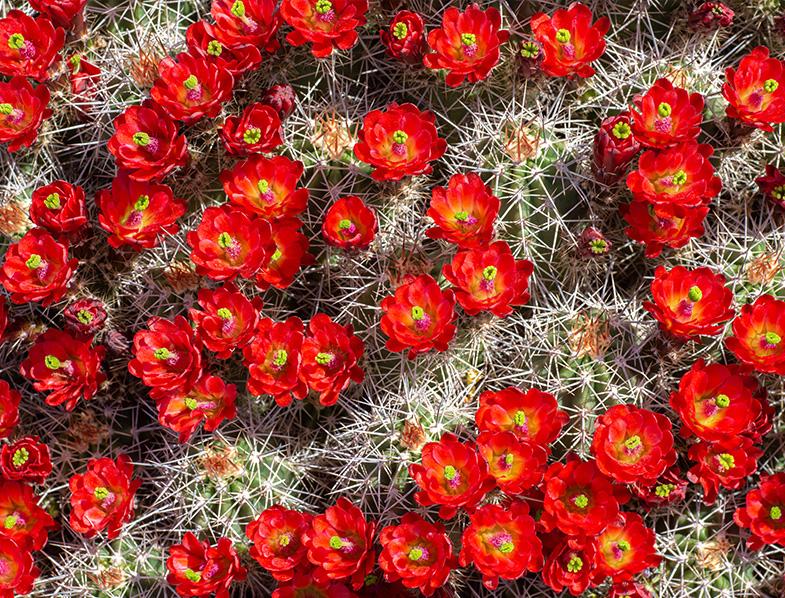 Echinocereus triglochidiatus cacti