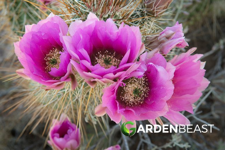 Engelmann's Hedgehog Cactus