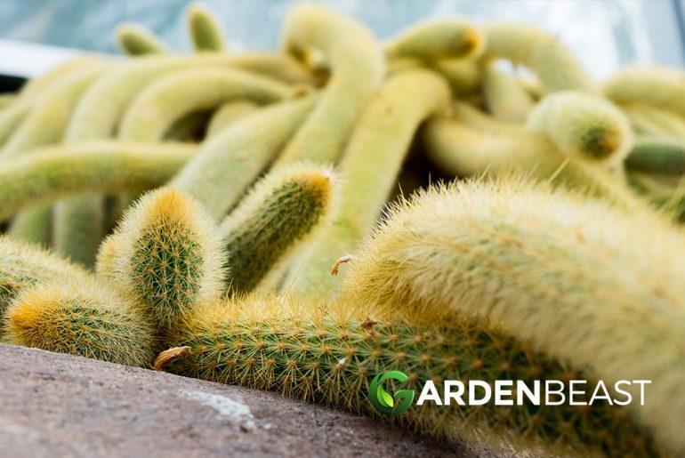 Golden Rat Tail Cactus