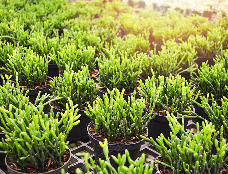 Mistletoe succulent plant