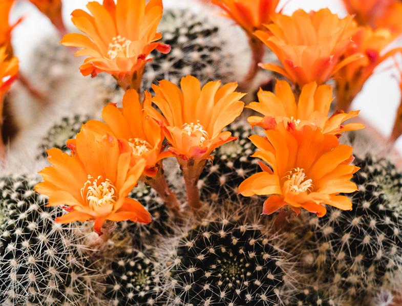 Orange Crown Cactus