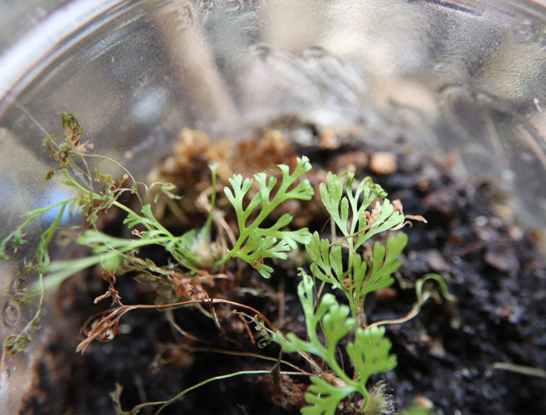 Propagating The Rabbit Foot Fern