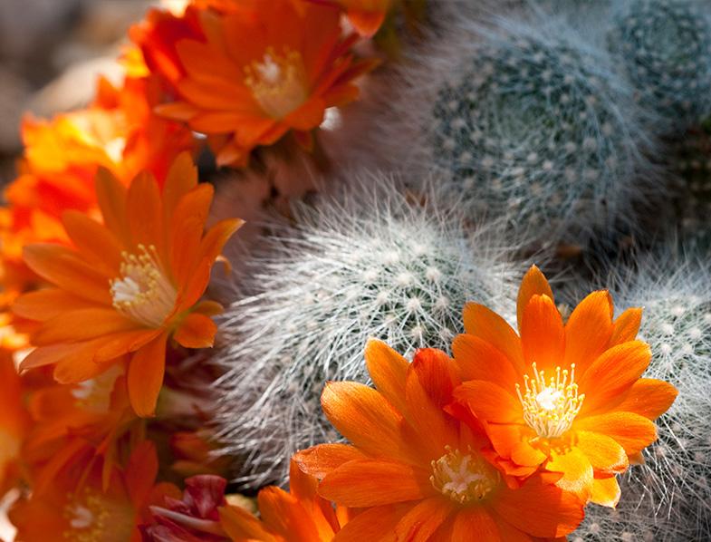 Rebutia Fiebrigii Cactus