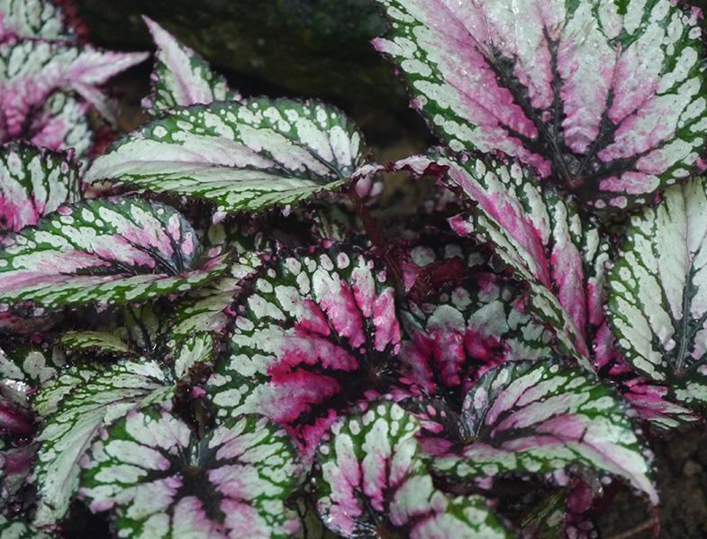 Rex Begonia Leaves