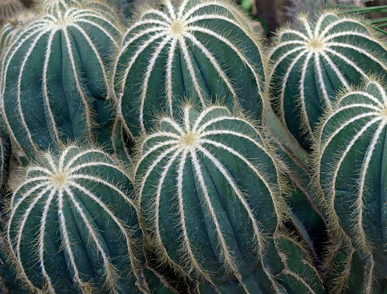 Rounded Ball Cacti