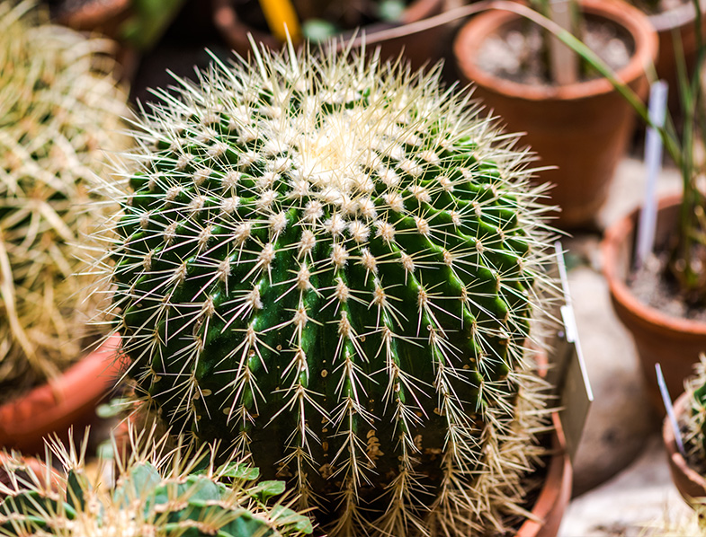 Rounded Ball cactus