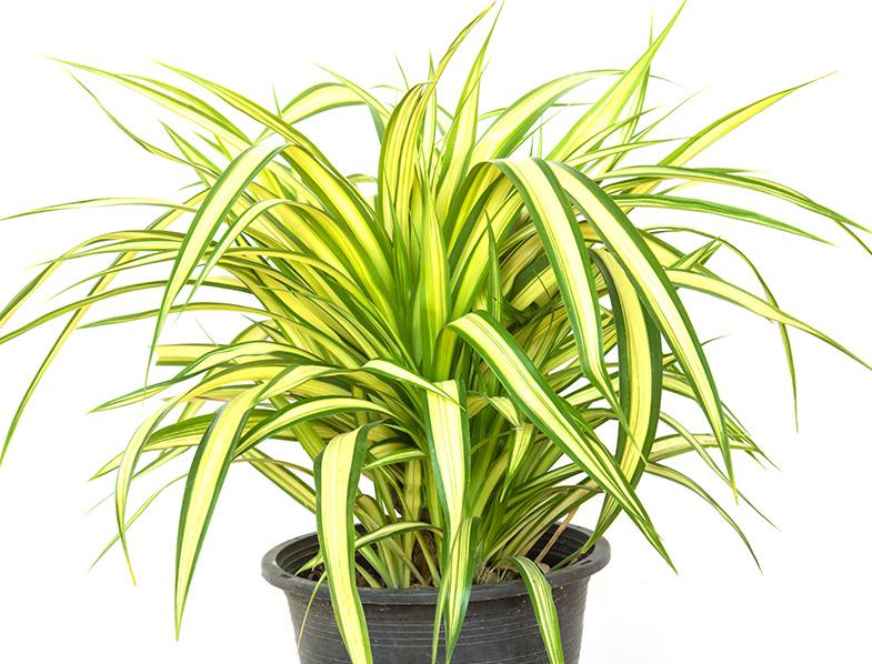 Screw Pine Plant