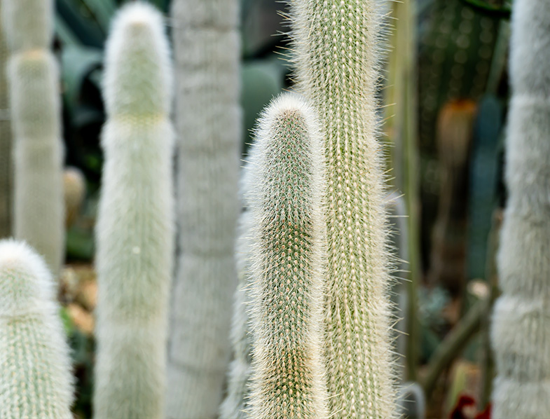 Silver Torch Cacti