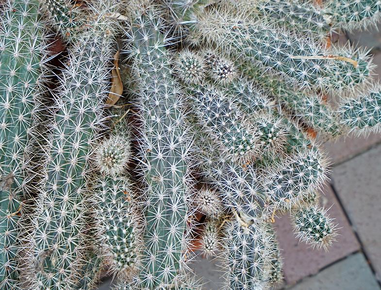 Stenocereus Eruca