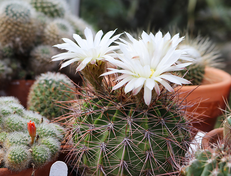 White flowers of acanthocalycium klimpelianum