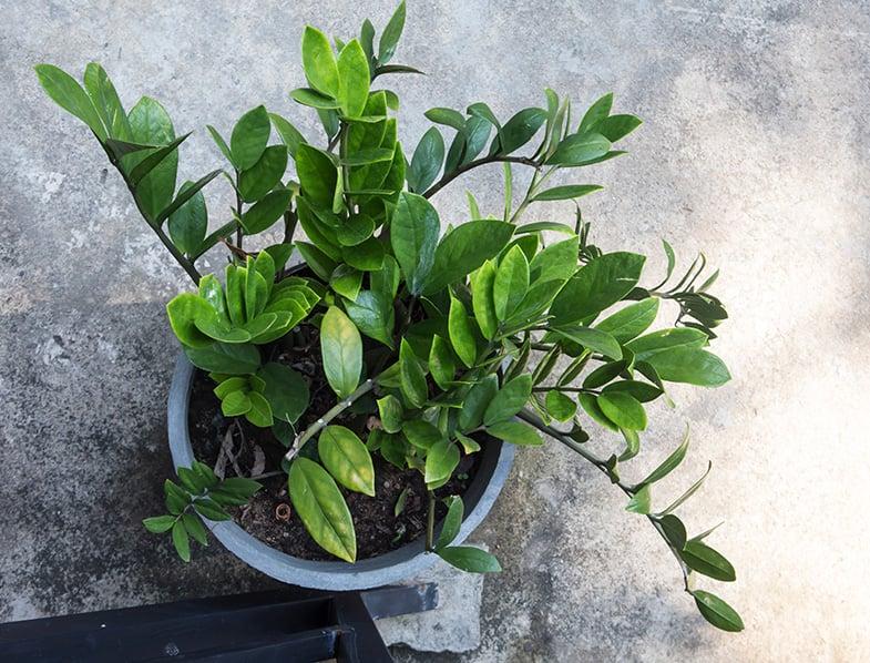 Zamioculas zamiifolia