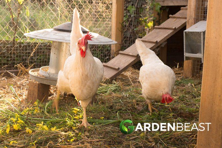 Best Chicken Coop